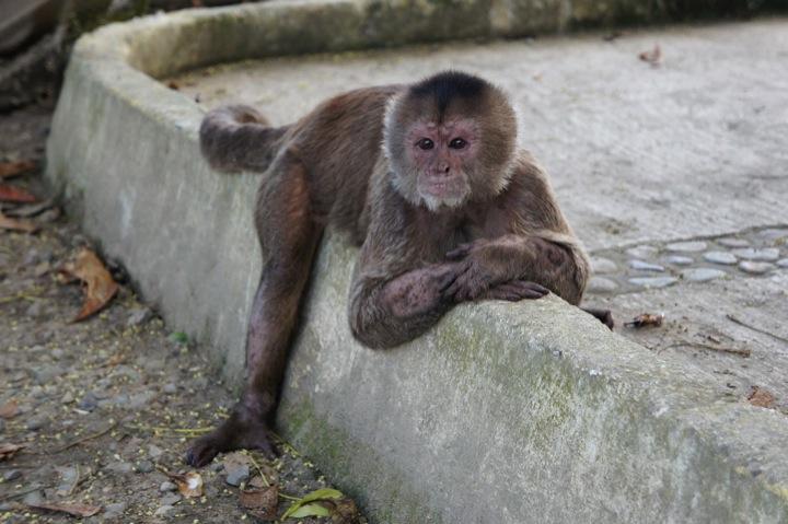 Capuchin monkey,