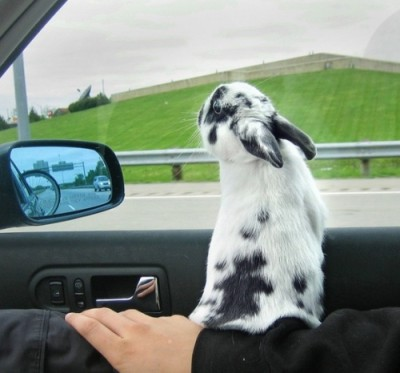 bunny-in-car
