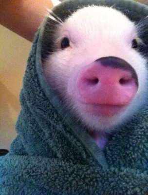 Yes, I'm an actual pig in an actual blanket.