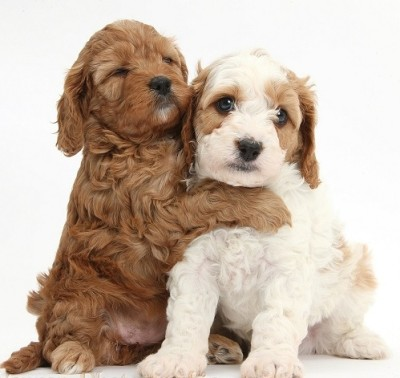 Cute red and red-and-white Cavapoo puppies, 5 weeks old, hugging