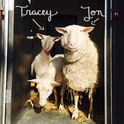 Two sheep at Farm Sanctuary, named after Tracey and Jon Stewart