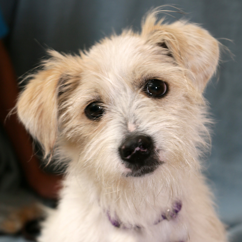 maltese mixed with poodle adopt me gibson the maltese and toy poodle mix animal fair 7223