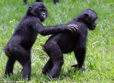 Bonobos are the only primates to protect each others backs.