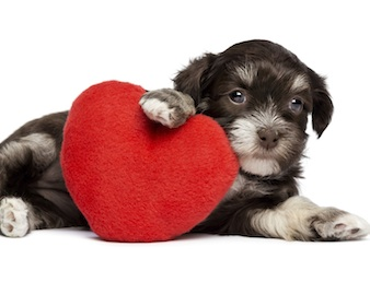 Cute Valentine Havanese puppy dog with a red heart
