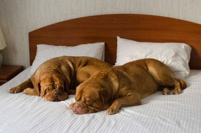 dogs-in-hotel-bed