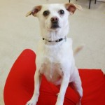 Adopt Silly Simba The Sweet Chihuahua Mix!