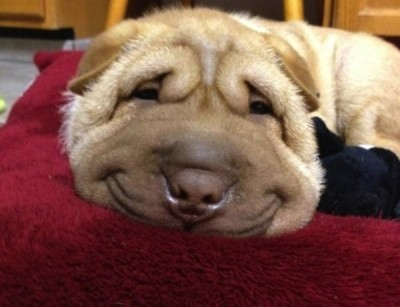 26-Happy-Smiling-Dogs-To-Brighten-Your-Day-8