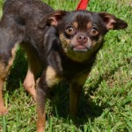ADOPT COCOA, This Chihuahua has Been Waiting for You