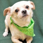 ADOPT Cooper, a Chill Chihuahua