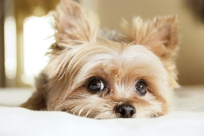 cute-dog-eyes-pet-Favim.com-274388