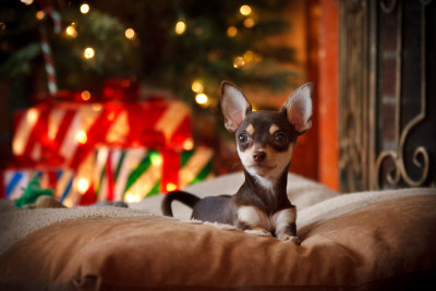 Chihuahua-Puppy-Piper-Under-the-Tree-Waiting-for-Santa