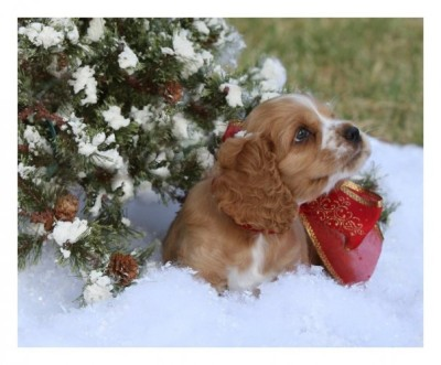 Cocker-Spaniel-Puppy-Under-Xmas-Tree