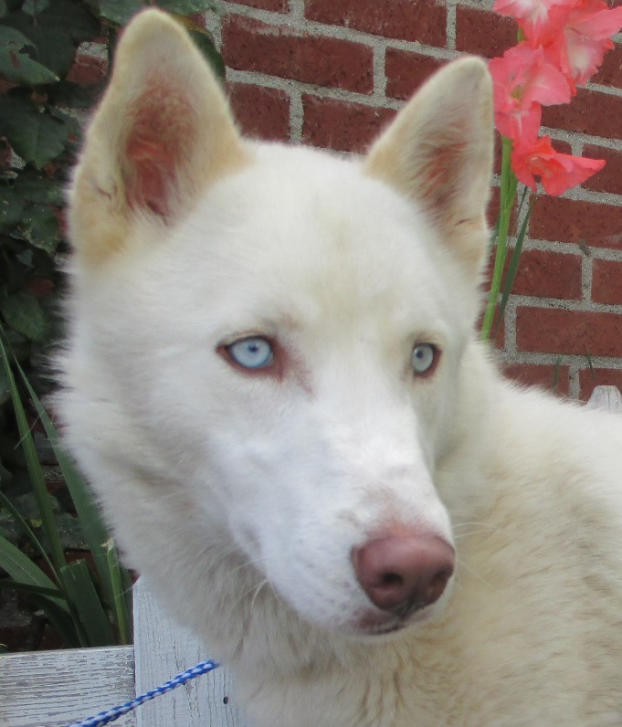 Adopt Me Sky With Bright Blue Eyes Needs A Home Animal