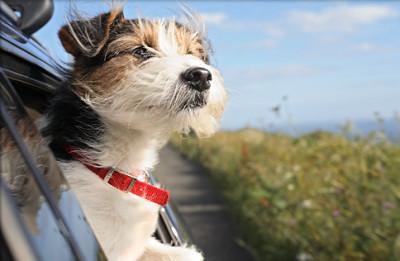 dog-in-car1