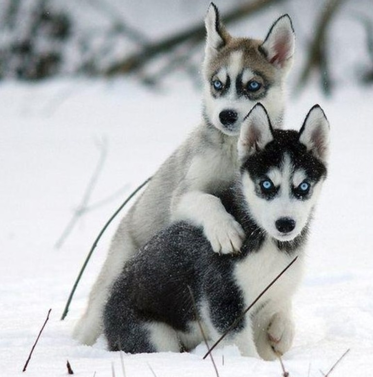 Male Puppy Husky For Sale In Scotland UK
