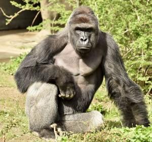 Cincinnati Zoo's western lowland gorilla, Harambe