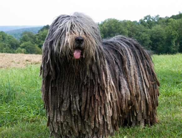 Image of: Dog Shaming The Bergamasco Shepherd Is Sheepdog With An Usual Matted Coat Or How Some Like To Describe It As The Dog With Dreadlocks Dont Let The Fur Scare You Animal Fair 10 Funniest Dog Breeds In The World Animal Fair