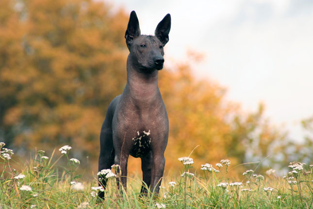 This Mexican Hairless Breed Is Not Only Funny Looking Its Also Quite Rare These Lovable Pups Were Considered Sacred By The Aztecs Toltecs And Mayans And