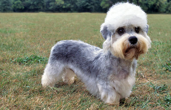 Image of: Pictures What Happens When You Have Tiny Dog That Has Really Short Legs And Has Cute Little Puff Of Hair On Its Head You Get Hilarious Looking Dog Animal Fair 10 Funniest Dog Breeds In The World Animal Fair