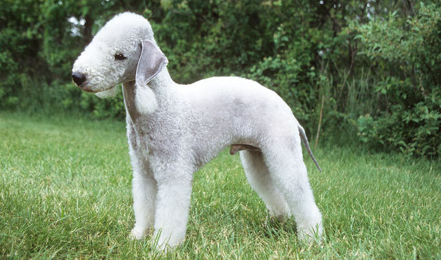 Is It A Sheep Is It A Dog Is It A Poodle These Are Just A Few Of The Questions That Fans Of This Breeds Find Themselves Asking As They Watch Their