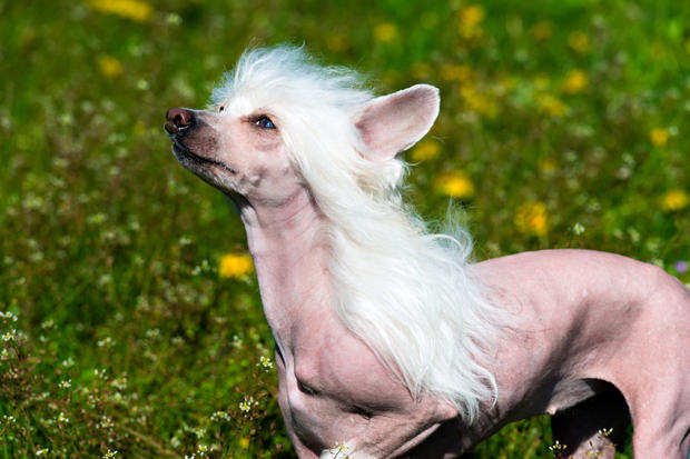 Image of: Laugh Youve Probably Seen Some Headturning Chinese Crested In The Infamous ugly Dog Contests Held Every Year Some Of These Dogs Sport Mohawks Animal Fair 10 Funniest Dog Breeds In The World Animal Fair