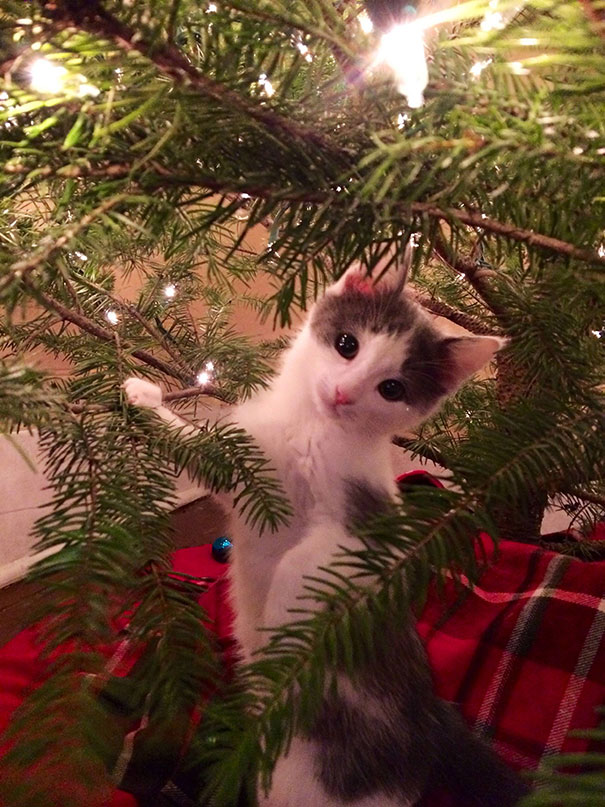 1 - Are Christmas Trees Poisonous To Cats