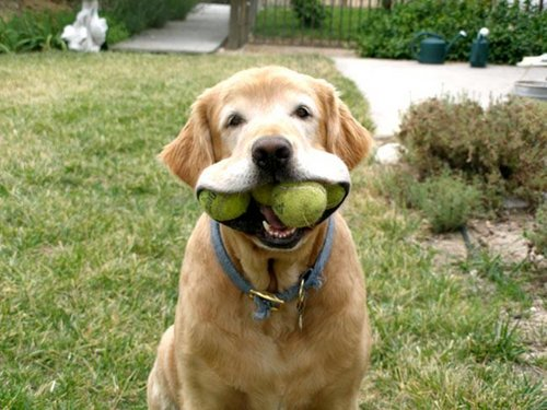 doggy-w-tennis-balls