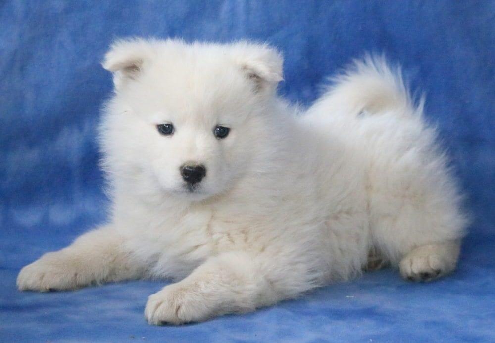 samoyed white dogfurry